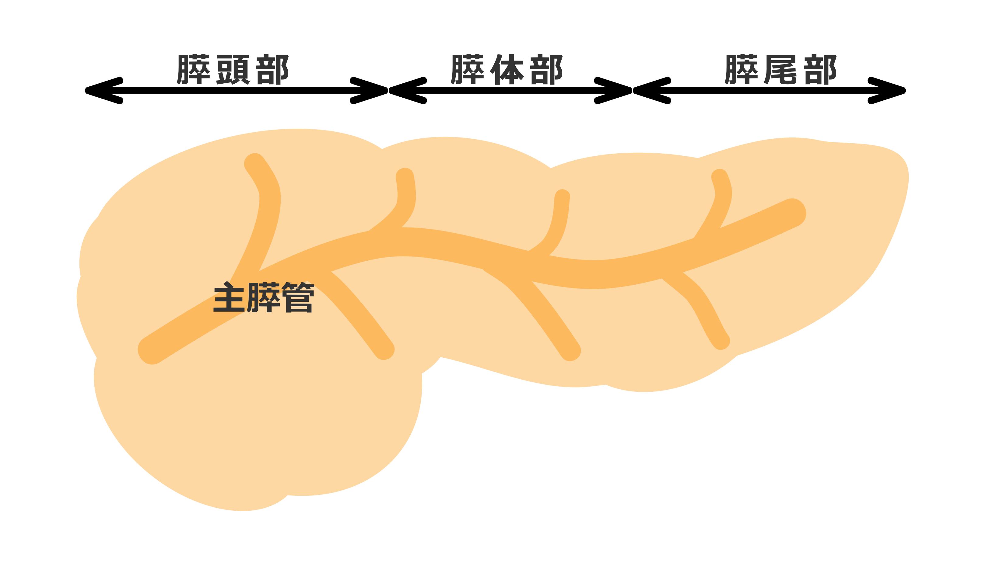 位置 膵臓